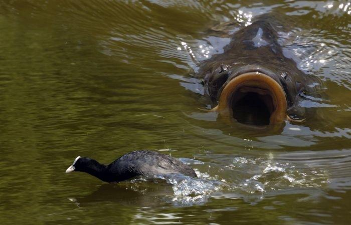 Монстры пресноводных водоемов – сомы.