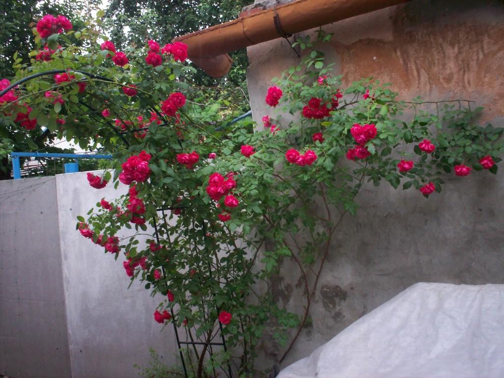 Вьющиеся растения для сада и дачи - фото и названия Сайт