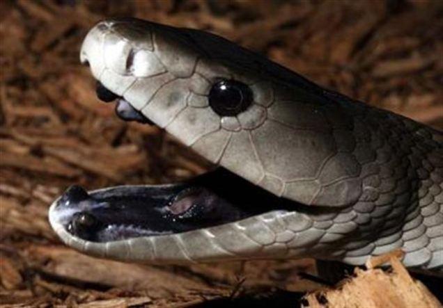 чёрная мамба змея онлайн