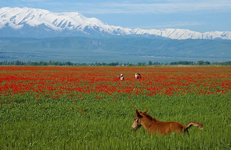 Сказка наяву, или Как выглядят алые маки Кыргызстана