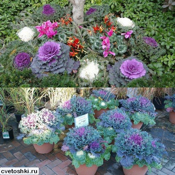 Капуста декоративный выращивание из семян 660