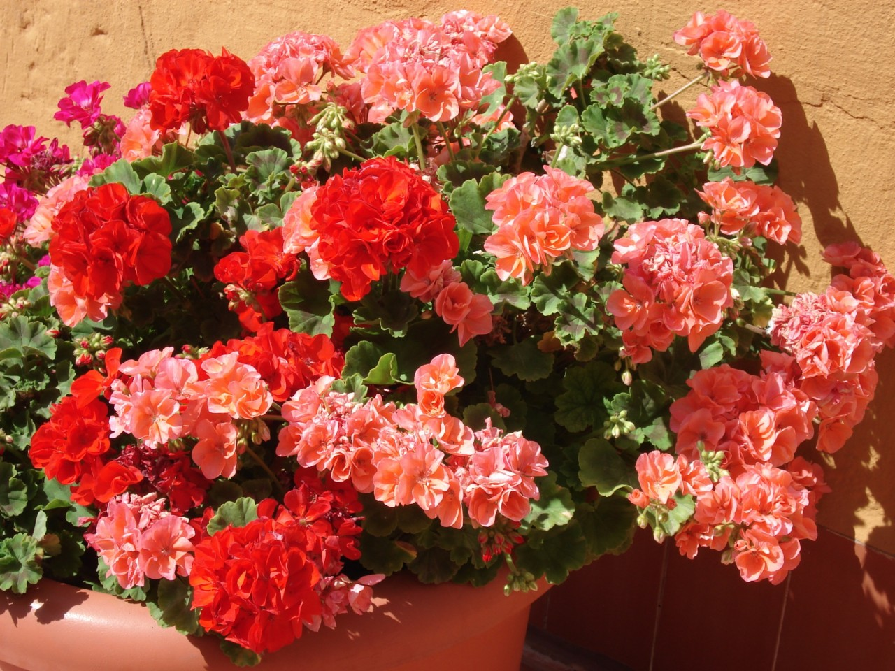 Пеларгония (Герань) - выращивание 48