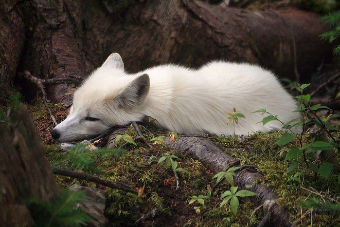 fox_20120409_00640_057 (700x500, 65Kb)
