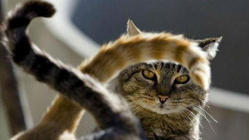 КОШАЧЬИ ПОЧЕМУЧКИ. Почему коты дергают хвостом