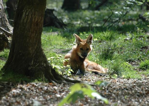 Гривастый или гривистый волк (лат. Chrysocyon brachyurus) (англ. Maned wolf)