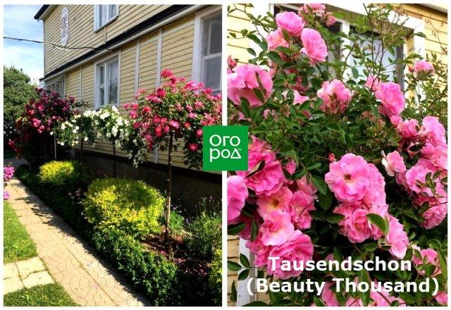 штамбовая роза Tausendschoen (Beauty Thousand)