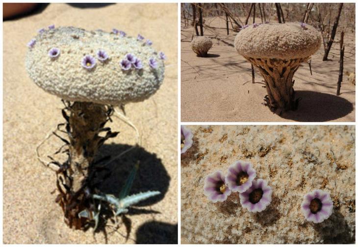 Фолисма песчанная (Pholisma sonorae) красота, особенные, природа, растения, флора, цветы