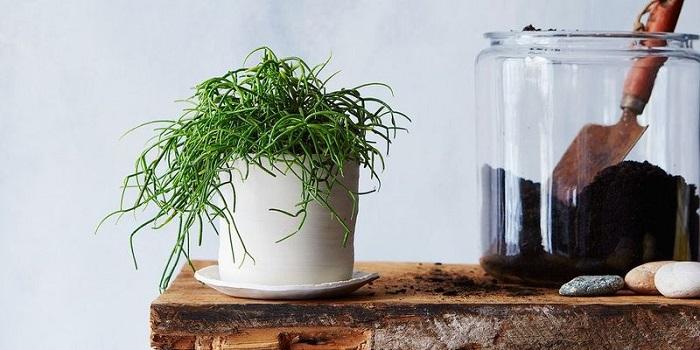 аптечная янтарная кислота для растений