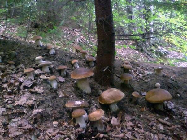 Как сеять грибы грибы, еда, своими руками, сделай сам