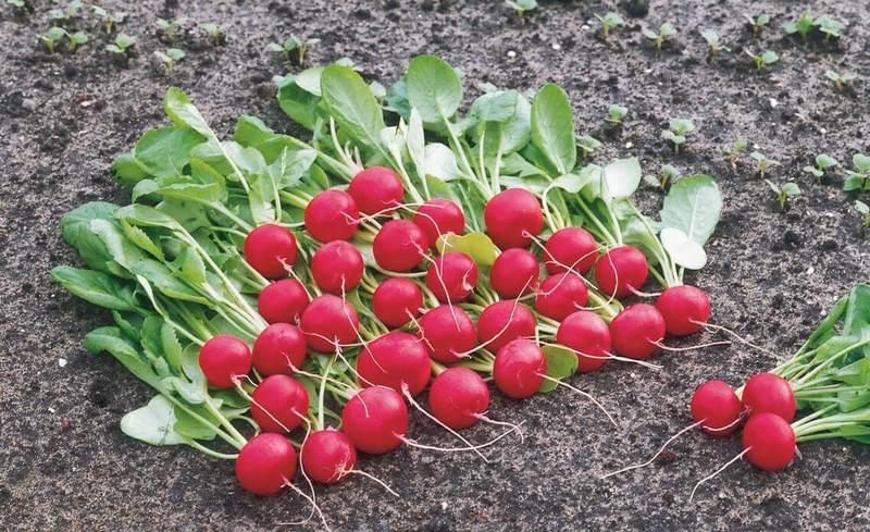 Как вырастить редис в осенней теплице