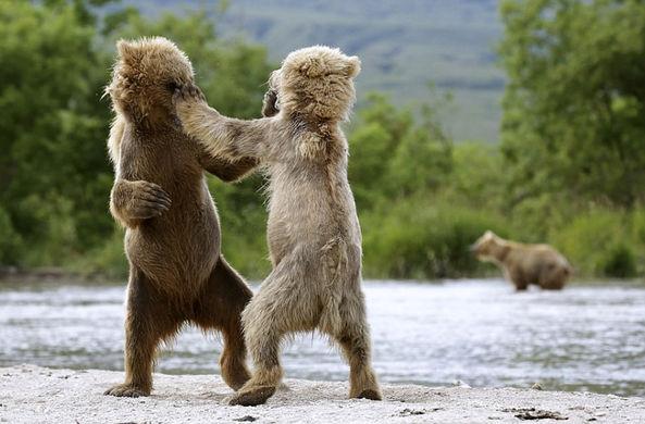 Фотограф снял бой медвежат-боксеров на Камчатке