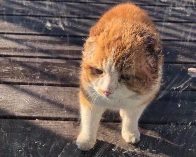 Он пришёл на чужое крыльцо, надеясь найти объедки… Безухий кот не знал, что за ним наблюдают