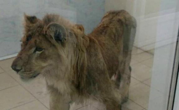 В Иркутске спасают брошенного льва, который умирал от голода