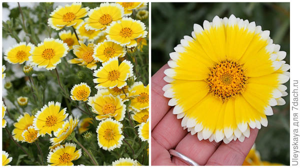 Лейя изящная, общий вид и соцветие крупным планом. Фото с сайта anniesannuals.com