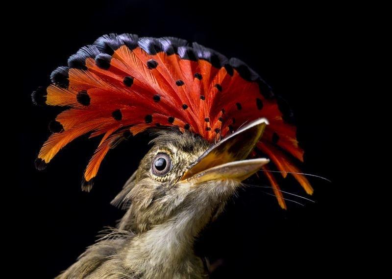 Королевский мухоловщик в заповеднике Кокоболо, Панама животные, искусство, планета земля, природа, фото, хрупкость