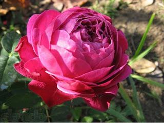 Нужно ли закапывать место прививки розы в землю?