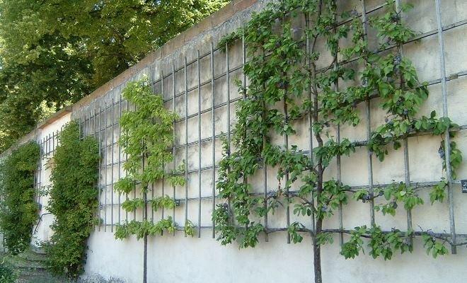 Деревья на шпалере – площадь меньше, урожай больше