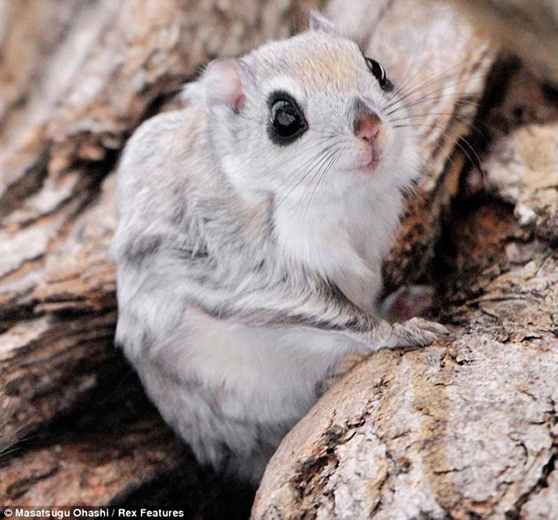 squirrels03 Сибирские белки летяги   это нечто