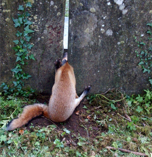 Лиса забрела ночью на кладбище и застряла между надгробиями