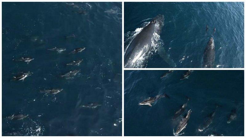 Видео: 1500 дельфинов-серферов