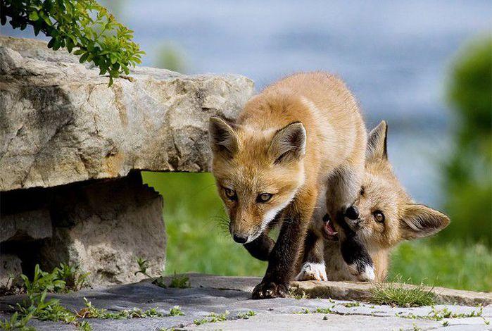 fox_20120409_00640_014 (700x500, 73Kb)