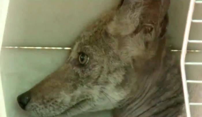 Женщина рассказала, что животное выглядело настолько плохо, что она даже не могла сказать, что это была за собака в мире, добро, животные, люди, собака, спасение