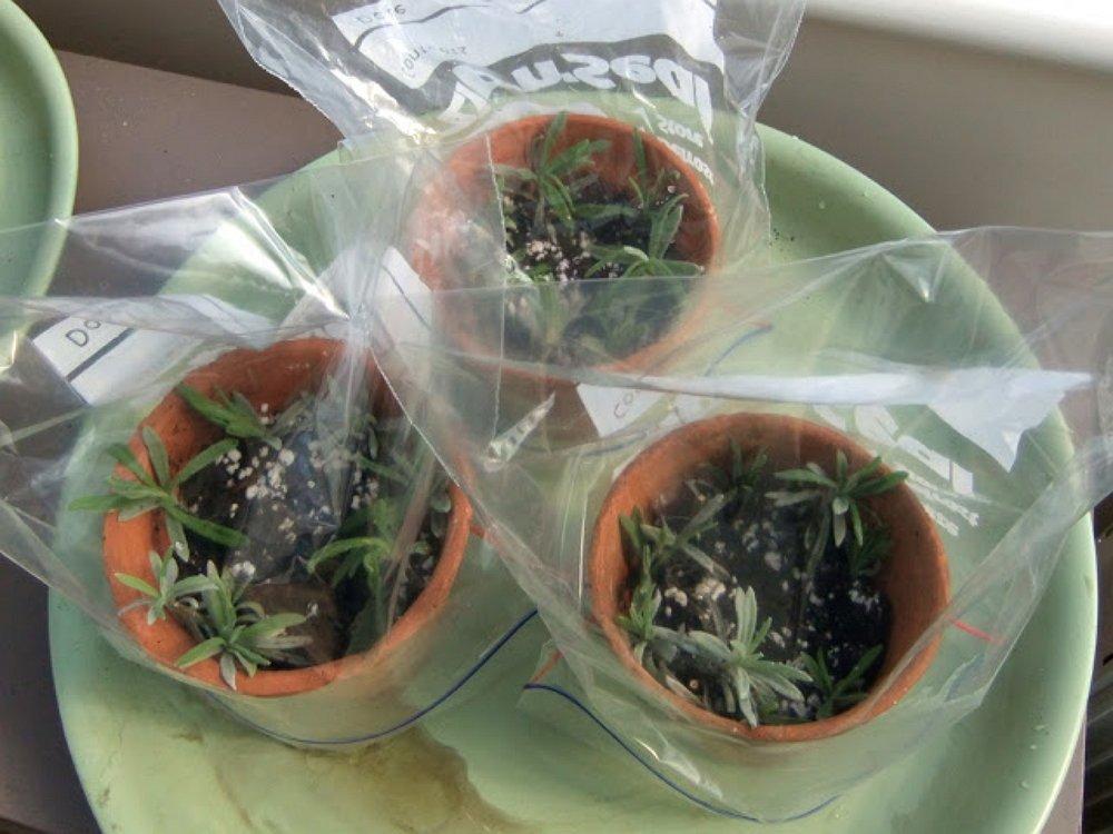Семена лаванды в домашних условиях 204