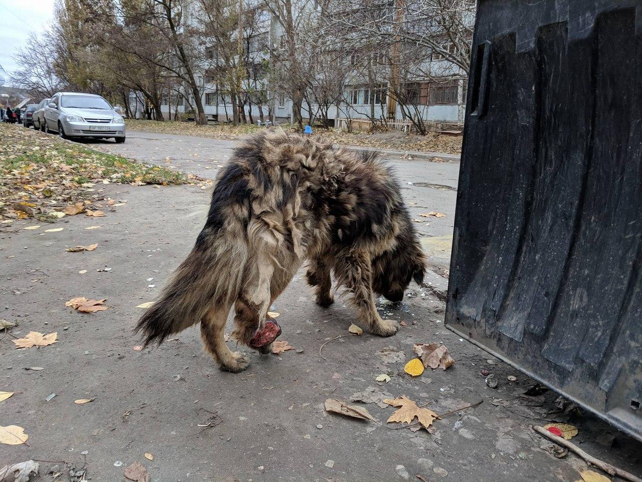 Волонтёры подобрали совершенно дикого пса с огромной опухолью на лапе… Удивительно, в кого вскоре превратился Бой