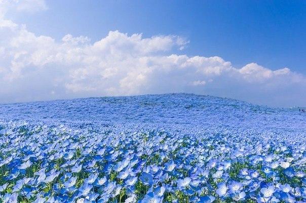 Красота, от которой хочется плакать — цветение немофилы в Небесном парке, Япония