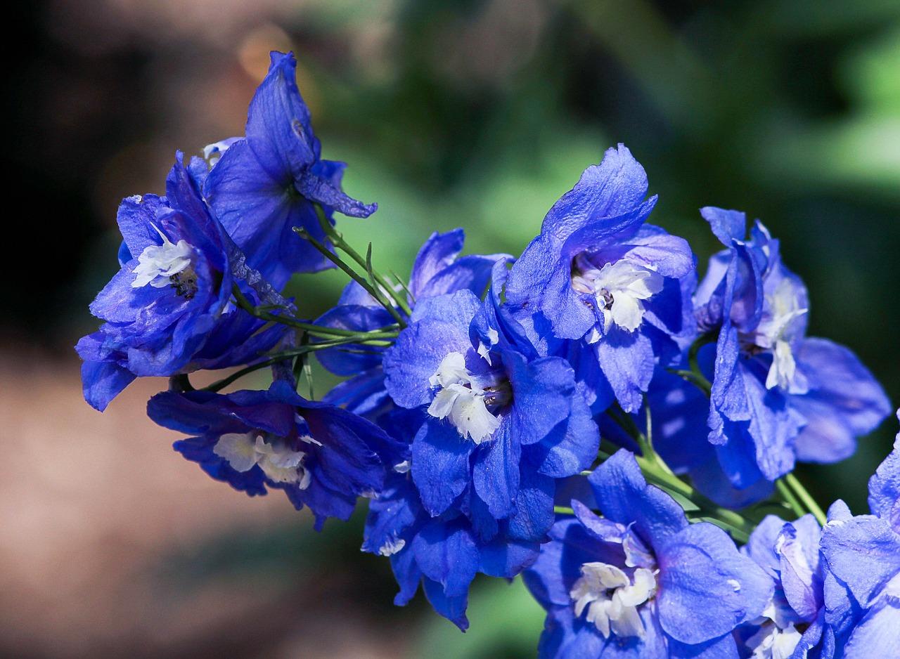 Голубые цветы на букву а