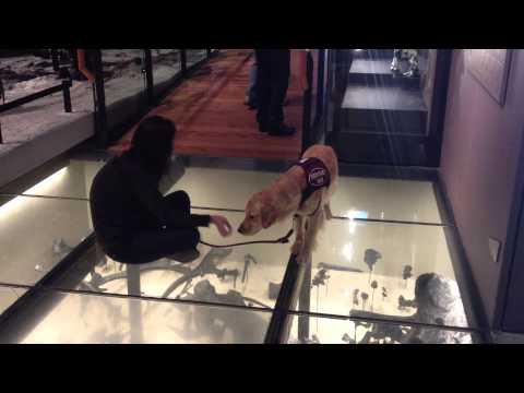 Собака побоялась пройти по стеклянному полу