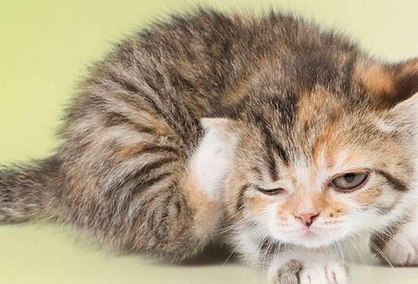 Как избавиться от блошек у кошек народными методами