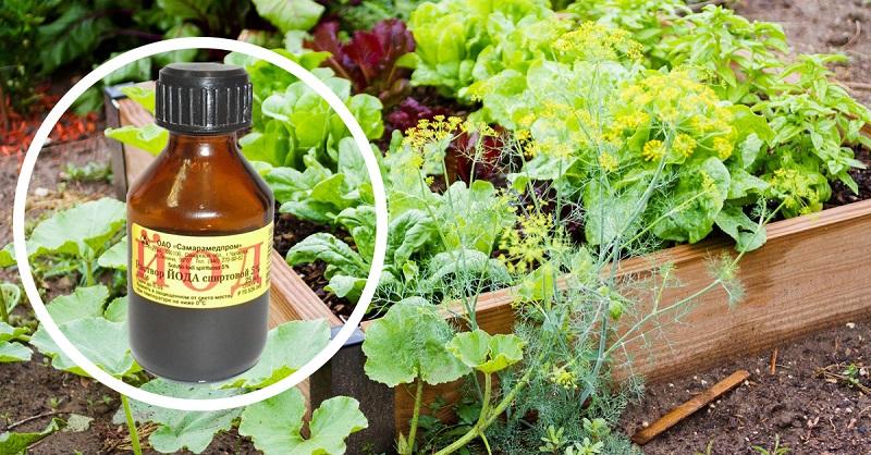 Одна капля йода, и вы не узнаете свой огород! Против фитофтороза, мучнистой росы и вредителей