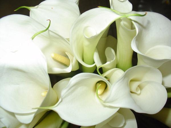 Калла — прекрасная тропиканка в вашем саду