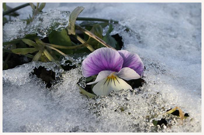 А из-под снега выглядывают анютины глазки