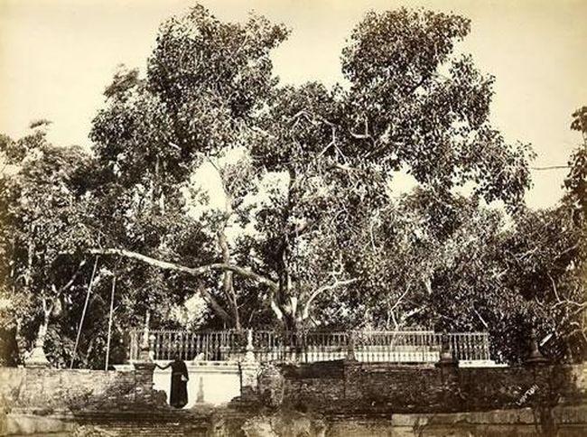 А это самый старый баньян в мире в городе Анурадхапура в Шри Ланке - ему 2295 лет!