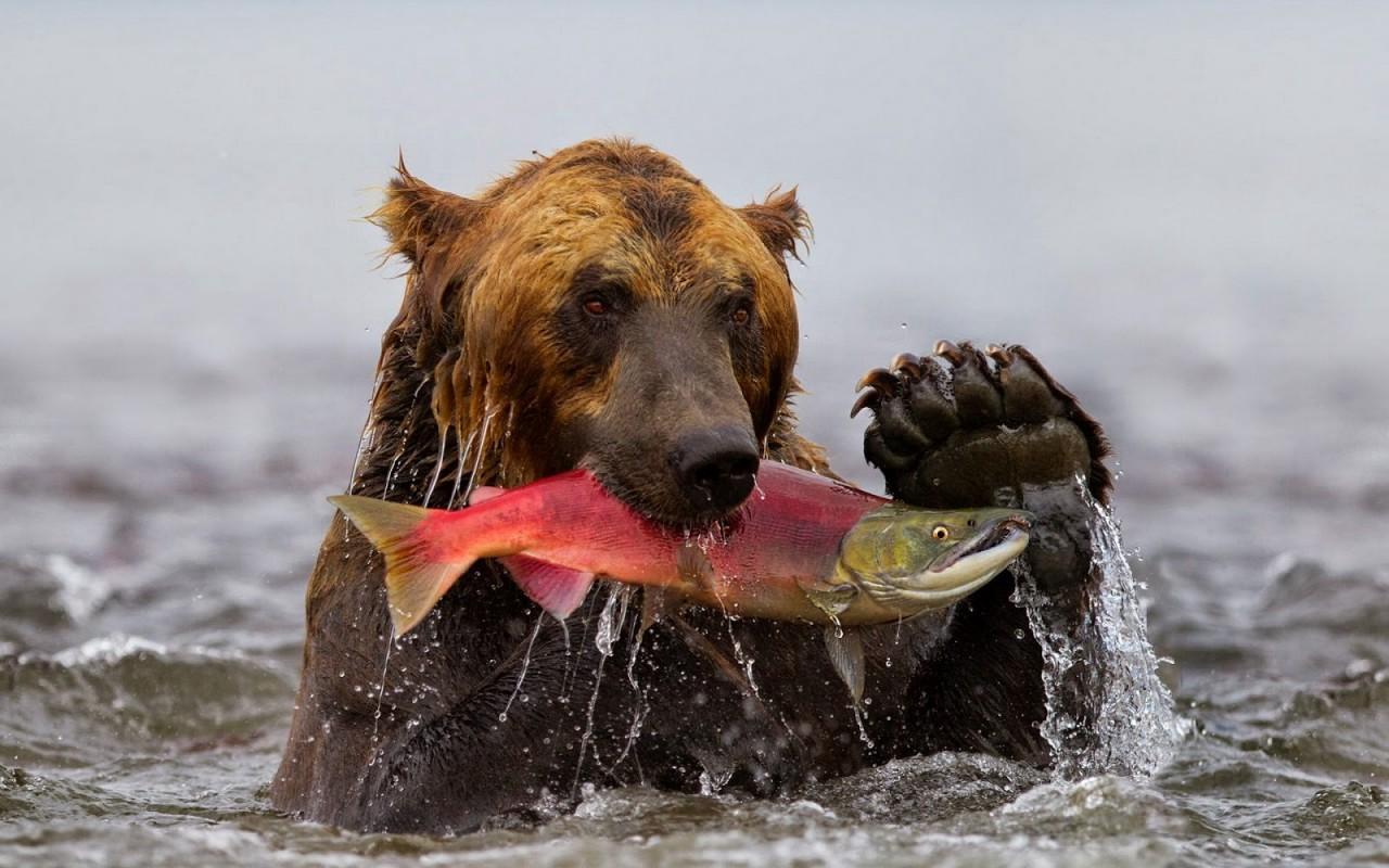 Сахалинские рыбаки застукали медведя за кражей улова из сетей