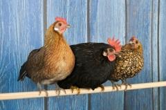 Сильвестров день, или Куриный праздник