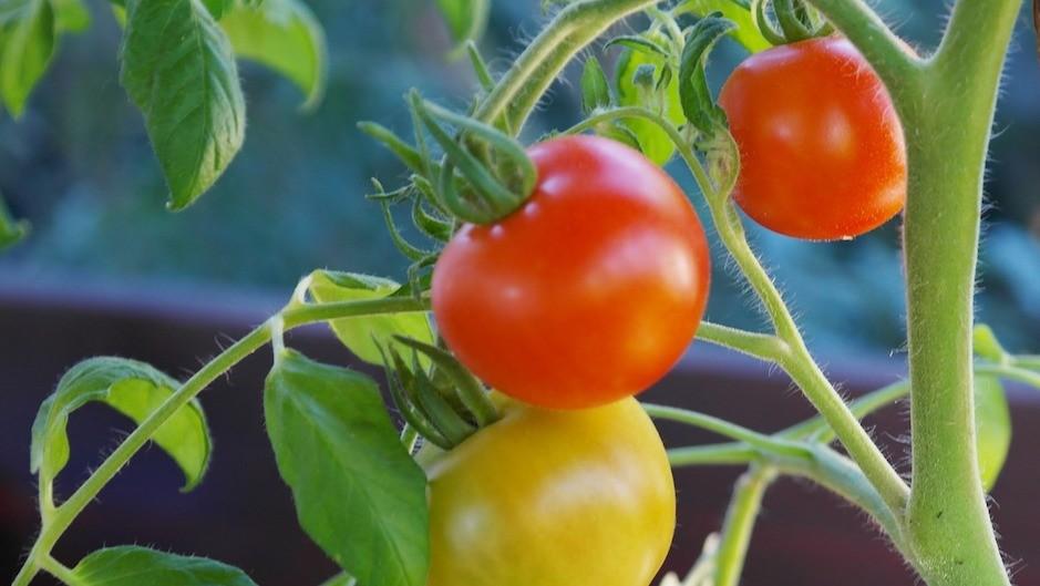 Чем помидоры могут помочь ку…