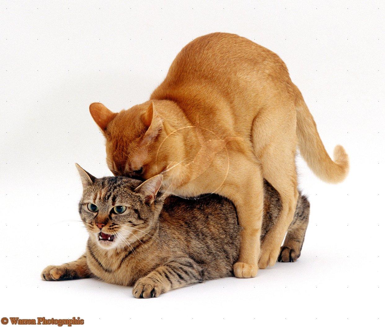 Почему кастрированный кот пытается делать садку на кошек или предметы?