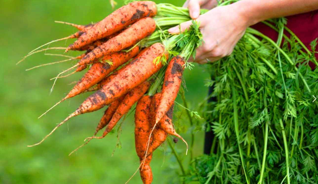 Весной посадите морковь, высушите ботву и вы на 2 года избавитесь от гипертонии: рецепт кардиолога