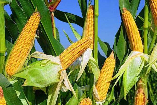 8опасных свойств кукурузы