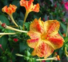 Цветок ночная красавица (мирабилис)