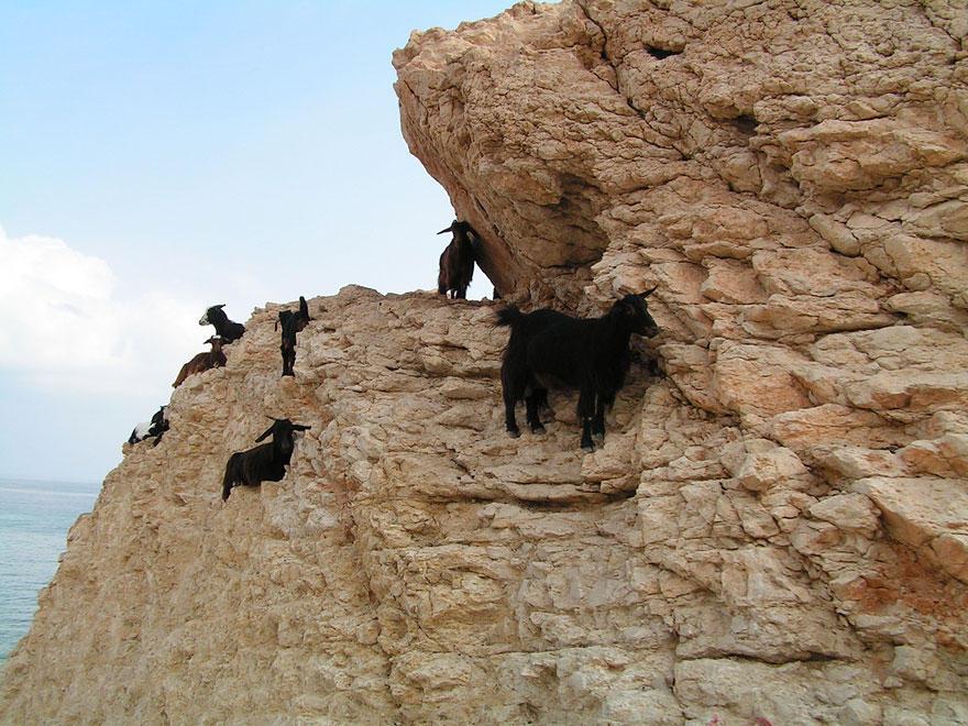 crazygoats15 Козлы, которым не ведома боязнь высоты
