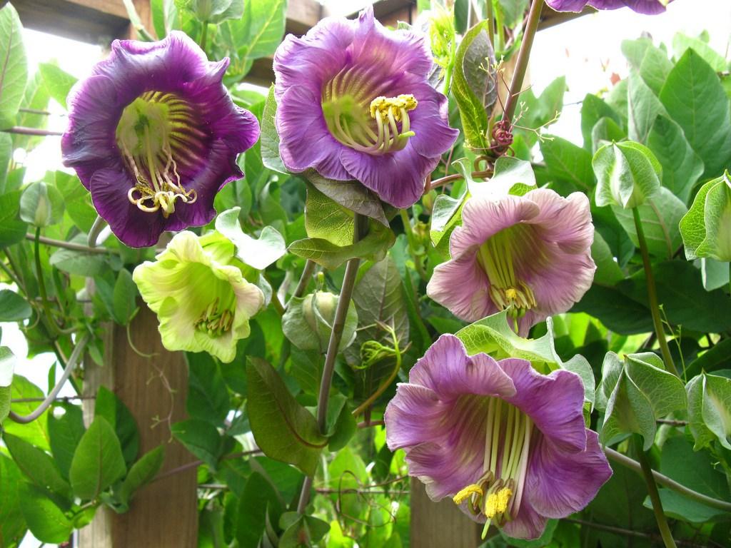 Кобея лазающая - выращивание из семян
