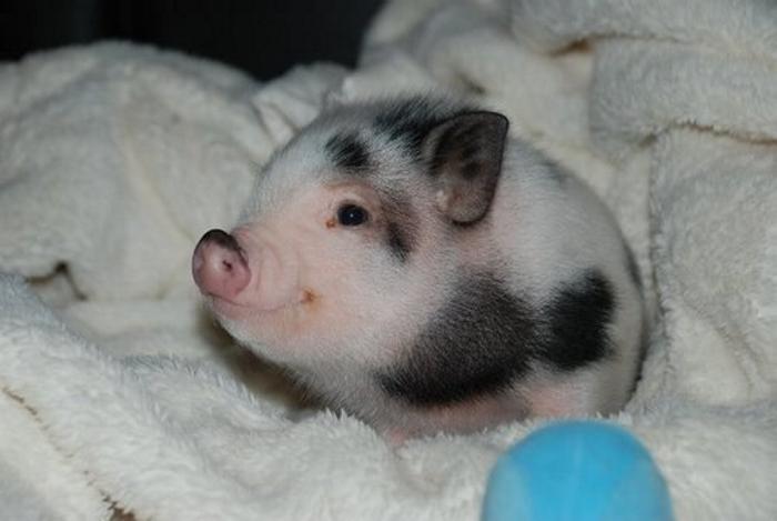 Совершенно очаровательный рассказ о том, что помогло одной наглой свинье не закончить свои дни в бульоне
