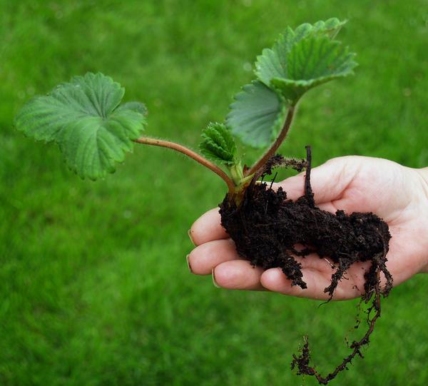 Садовая земляника - молодое растение