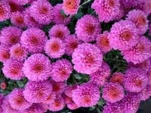 Секреты пышного цветения хризантем