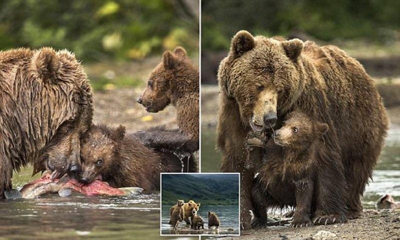 Фотограф воспользовался шансом поближе познакомиться с медвежьим семейством