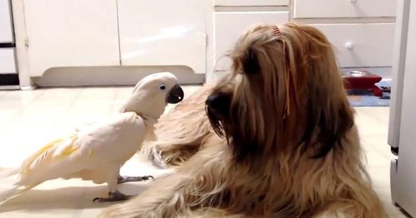Какаду подражает своей подружке, и говорит с ней на собачьем языке